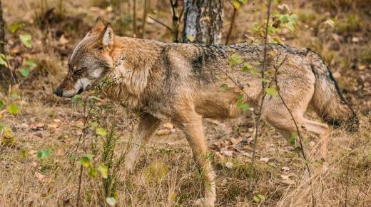 أهم المعلومات عن الذئب الأوراسي