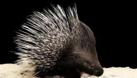 أهم المعلومات عن حيوان النيص