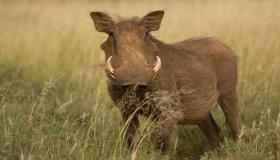 أهم المعلومات عن خنزير الصحراء