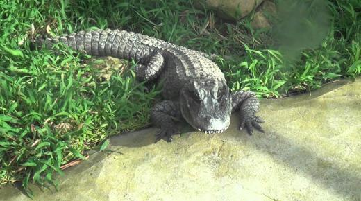 أهم المعلومات عن التمساح الصيني