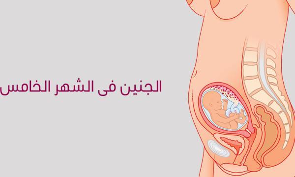 مراحل تكوين نمو وشكل الجنين فى الشهر الخامس بالتفصيل بالصور