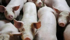 تفسير حلم رؤية الخنزير فى المنام