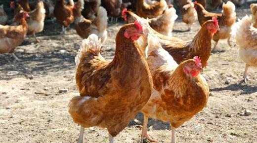 تفسير حلم رؤية الدجاجة فى المنام