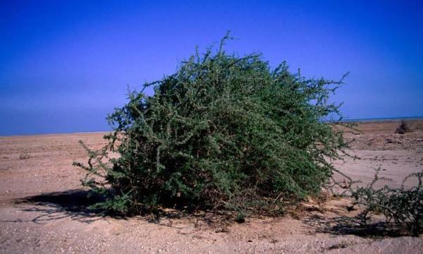 قصة الشجر اليهودي ما هو شجر الغرقد