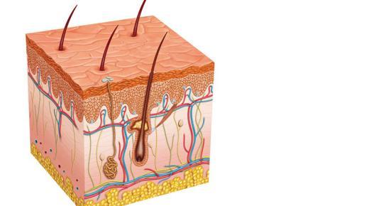 ما هى طبقات الجلد الثلاث ووظائفه بالتفصيل؟
