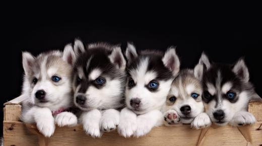 معلومات مهمة عن كلاب الهاسكي