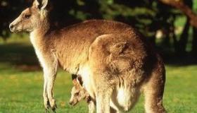 معلومات عن حيوان الكنغر
