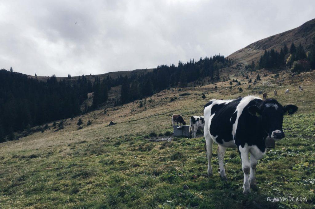 Feldberg vaca. Selva negra en tres dias