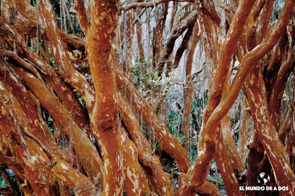 Bosque de Arrayanes. Bariloche en otoño