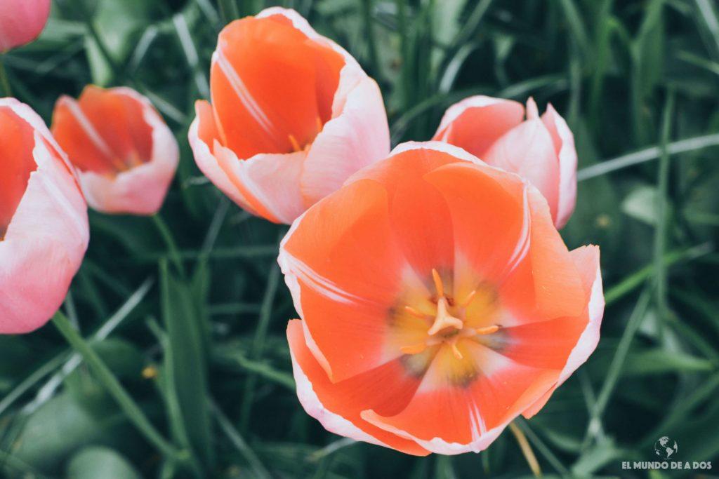Tulipan coral. Parque Keukenhof