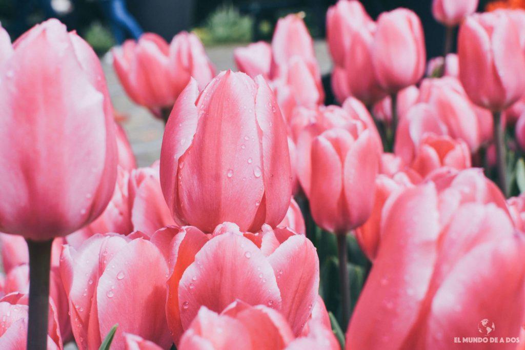 Rocío sobre tulipanes. Parque Keukenhof