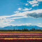Campos de tulipanes con las montañas de fondo