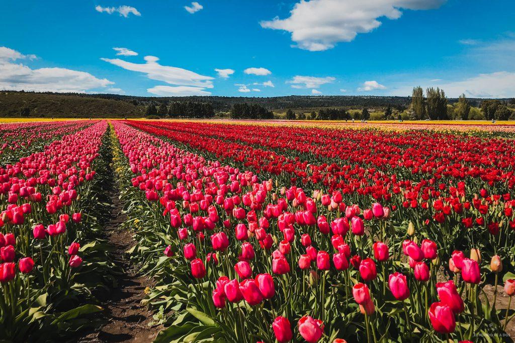 Miles de tulipanes de todos los colores. Campos de tulipanes en Trevelin