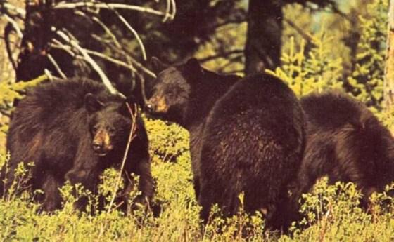 La vida de un oso negro americano