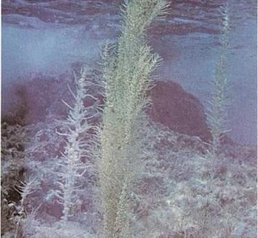 Plantas de la comunidad oceánica