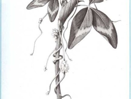 Plantas vampiro