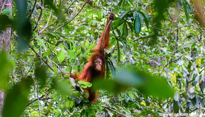 ver orangutanes en Borneo Sepilok - encuentros en la selva