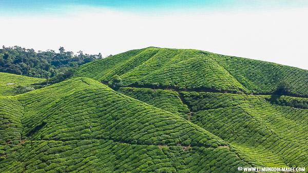 que-hacer-en-cameron-highlands--plantaciones-de-té