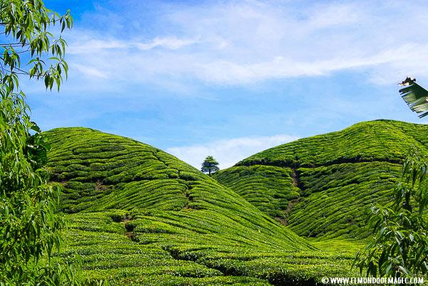 que-hacer-en-cameron-highlands-plantaciones-de-té