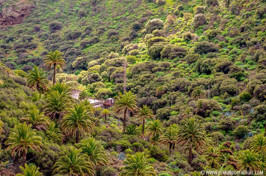 Senderismo en Gran Canaria - palmeral