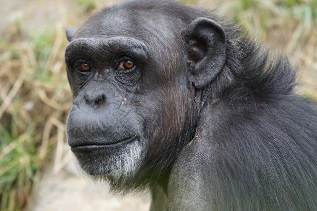 chimpanzee 871296 1920
