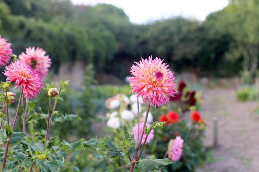 160810 jardin potager fleurs 2 Dans le potager de Papy