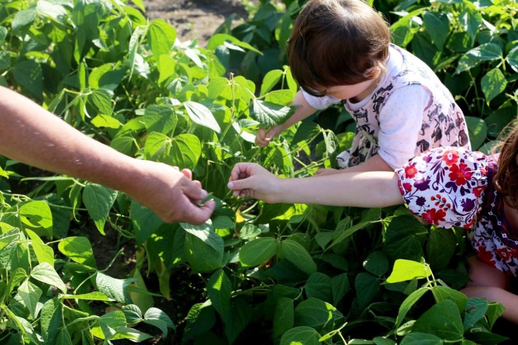 160810 jardin potager v3 Dans le potager de Papy