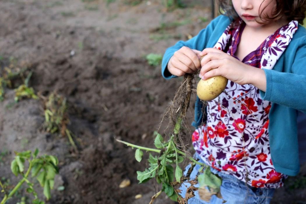 160810 jardin potager Dans le potager de Papy