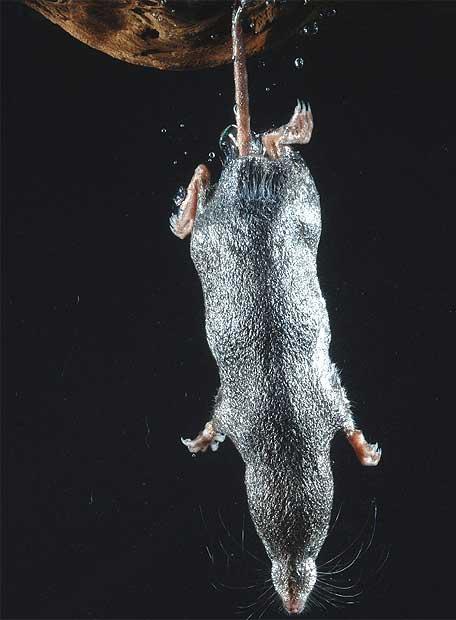 Un topo de nariz estrellada (Condylura cristata) nadando.