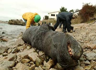https://i0.wp.com/www.elpais.com/recorte/20070601elpepuint_4/XLCO/Ies/leon_marino_yace_vida_costa_bahia_San_Vicente_Chile_vertido_crudo_ha.jpg