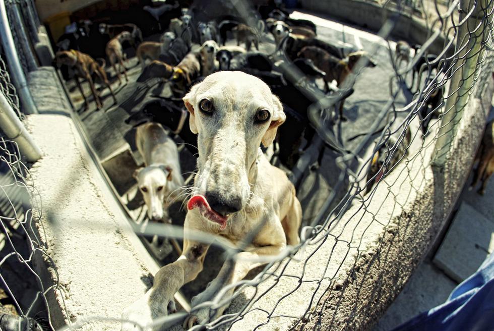 Un galgo en la perrera de la asociación Las Nieves, en Navalcarnero.- C. ÁLVAREZ