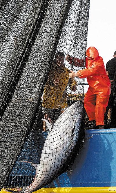 Un pescador saca un atún rojo