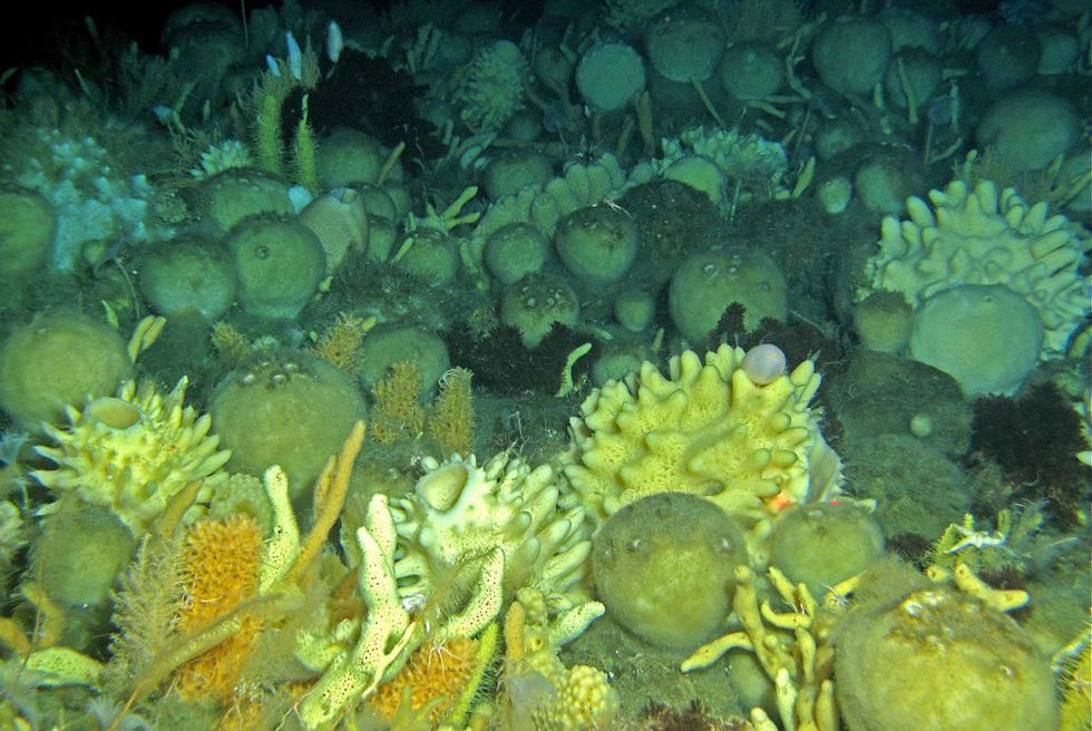 El barco 'Polarstern' de vuelta de la Antártida  - Colonia de esponjas submarinas