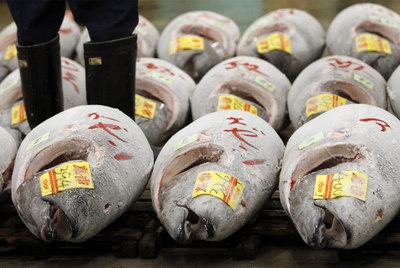 Frozen Tuna in Japanese Market