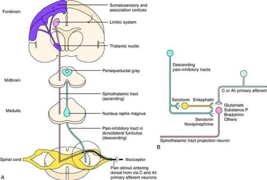 Ascending and Descending Pain Suppression Mechanism Diagram 2   El Paso, TX Chiropractor