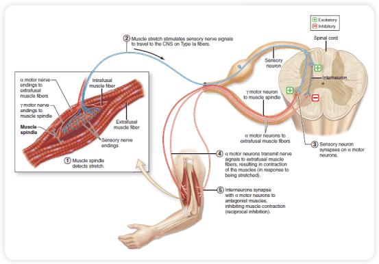 PNF Diagram 1 | El Paso, TX Chiropractor
