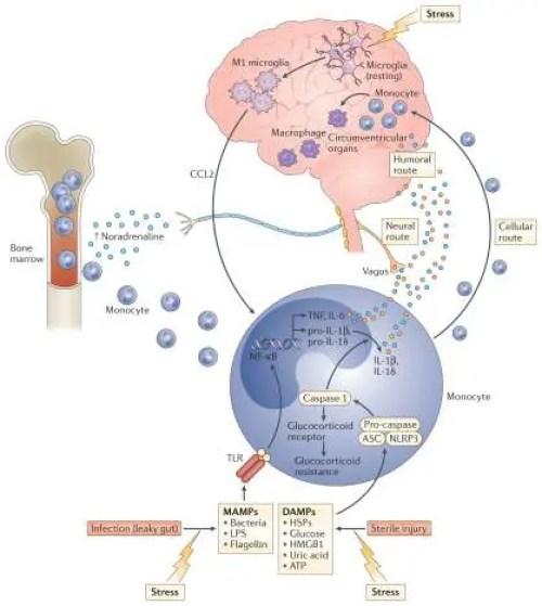 Figura 2 Trasmissione di segnali infiammatori indotti da stress | Chiropratico di El Paso, TX
