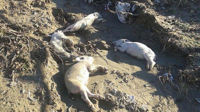 El temporal los golpeó con una masiva mortandad de animales de granja.