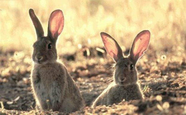 conejo-monte