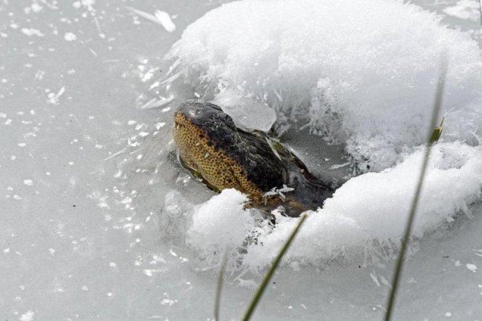 caiman-nevada-muertos