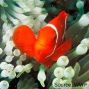 Anemone fish, photo from the WWF