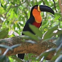 A bird of the amazon forest
