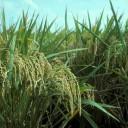 rice-crop