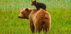 cria-del-oso-grizzly