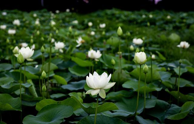 Deseo ser como la Flor de Loto
