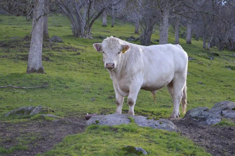toros-blancos