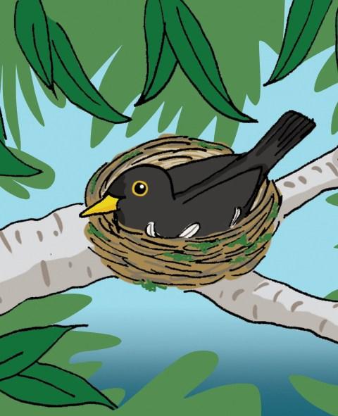Merel op nest
