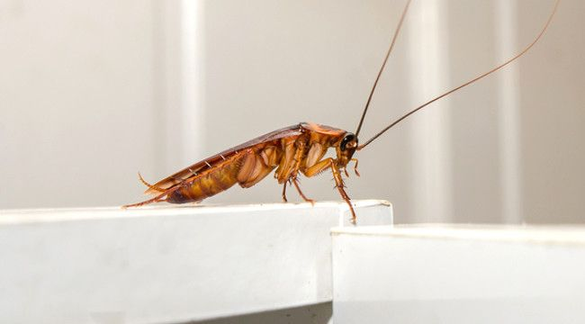 Hian! Cockroach Milk May be the Superfood of the Future - elsieisy blog