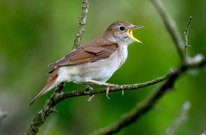 Philomela -- Nightingale - elsieisy blog