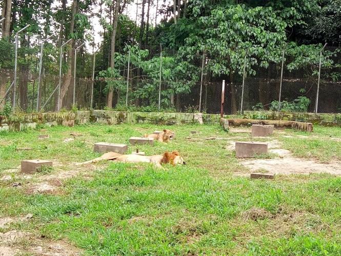 lions - agodi gardens - elsieisy blog